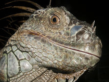 Close up image of a Iguana Stock Image