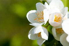 Close up image of jasmine over green background Stock Images