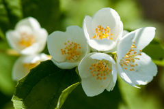 Close up image of jasmine over green background Royalty Free Stock Photos