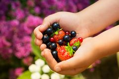 Close-up image of kid hands holding black currant and strawberry. Young girl holding fresh berries after harvest from garden.  Stock Photography
