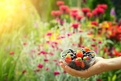 Close-up image of kid hands holding black currant and strawberry. Young girl holding fresh berries after harvest from garden.  Stock Images