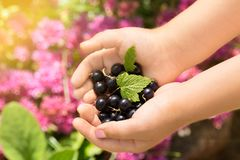 Close-up image of kid hands holding black currant. Young girl holding fresh berries black currants after harvest from garden.  Royalty Free Stock Photos