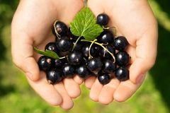 Close-up image of kid hands holding black currant. Young girl holding fresh berries black currants after harvest from garden.  Stock Photography
