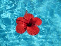 Close-up image of a large red flower floating in a pool with blu Stock Photos