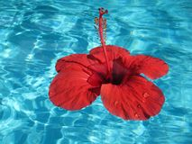 Close-up image of a large red flower floating in a pool with blu Royalty Free Stock Photo