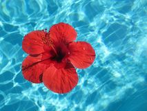 Close-up image of a large red flower floating in a pool with blu Royalty Free Stock Photos