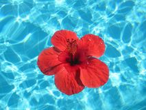 Close-up image of a large red flower floating in a pool with blu Royalty Free Stock Images