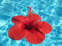 Close-up image of a large red flower floating in a pool with blu Royalty Free Stock Image