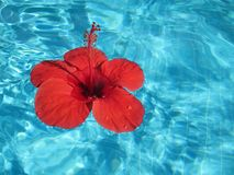 Close-up image of a large red flower floating in a pool with blu Royalty Free Stock Photography