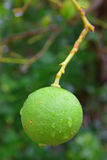 Close Up Image of Lime fruit growing from a tree in Rodrigues Island, Mauritius. Close Up Image of Lime (in focus) growing from a tree in Rodrigues Island stock photography