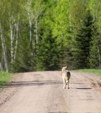 Gray wolf walking down dirt road. Close up image of a lone gray wolf, walking down a country dirt road in summertime Stock Images