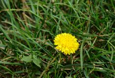 Close Up image of Lonely Dandelion flower stock photography