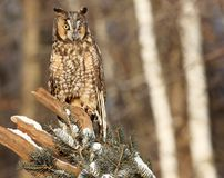 Portrait of a Long-eared owl. Close up image of a long-eared owl, perched on a snowy tree branch Royalty Free Stock Photography