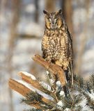 Portrait of a Long-eared owl. Close up image of a long-eared owl, perched on a snowy tree branch Royalty Free Stock Images