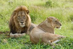 A lion with large mane and lioness lying together in green grass stock photo