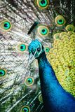 Close up image of a Male Peacock royalty free stock photography