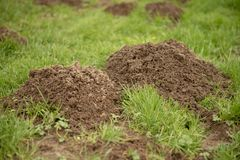 Mole hills on green grass. Close up image of mole hills on green grass stock image