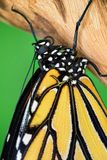 A Monarch Butterfly On Timber stock images