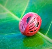 Close up image of nutmeg Stock Image