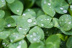 Free Close-up Image Of Rain Drops On Three Leaves Clovers During A Rainy Day Stock Images - 155157114