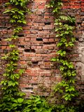The old masonry of red brick overgrown with wild ivy and grapes. stock photo