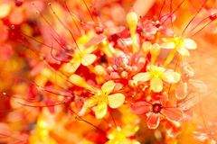 Close up image of orange ashoka flowers stock images