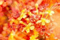 Close up image of orange ashoka flowers. Saraca indica stock images