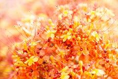 Close up image of orange ashoka flowers. Saraca indica royalty free stock photos