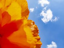 Close-up image of a sunlit poppy flower petal from below royalty free stock photos
