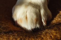 Close up image of a paw of dog on a plaid. Resting dog`s paw stock photo