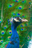 Close up image of peacock Royalty Free Stock Photo