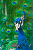 Close up image of peacock Stock Photography