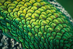 Close up image of Peacock Feathers stock photos