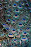 Close up image of Peacock Tail. A close up shot of a peacock's tail feathers royalty free stock images