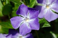 Vinca major. Close-up image of periwinkle (Vinca major) violet flower stock photography