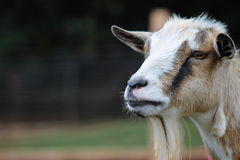 Close up image of a pet Goat Stock Photography
