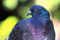 Close up image of a Pigeon Stock Image