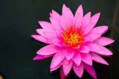 Close-up image of Pink Water Lily Royalty Free Stock Photo
