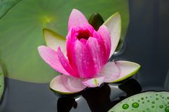 Close-up image of Pink Water Lily Stock Image