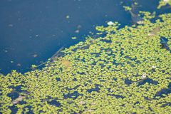 Pond water with pond weed. A Close up image of pond water with pond weed Stock Images