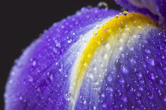 Close up image of purple iris petal Stock Images