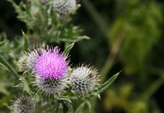 Purple thistle flower with copy space stock image