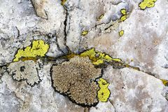 Close up of a rock and lichen. Close up image of a quartzite rock with colorful lichens stock images