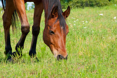 Close up image of a red bay horse grazing. In summer pasture Stock Images