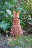 Ginger red tabby cat with its back to the camera mouse hunting in tall grass and foliage. A close up image of a red ginger cat with its back to the camera on a royalty free stock photography