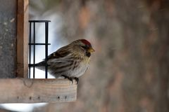 Red Pole Song Bird. A close up image of a Red Pole song bird perched in a wooden birdfeed during winter stock photos