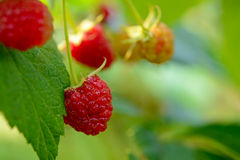 Close-up Image of Red Ripe Raspberries Growing in Garden Royalty Free Stock Photos