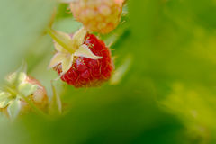 Close-up Image of Red Ripe Raspberries Growing in Garden Royalty Free Stock Photo