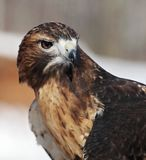 Red-tailed hawk portrait Stock Images