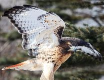 Red-tailed hawk with wings spread Stock Photo